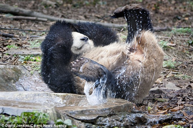 The adorable panda certainly wasn't shy of the water when it came to bath time at the enclosure in Chengdu, China