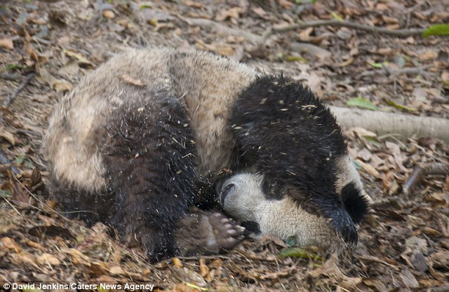 The animal ended up filthier than it was before his bath, with leaves and branches sticking to his wet coat of fur