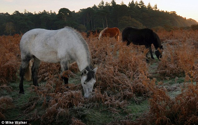 The ponies are known to usually avoid foods that are poisonous to them but they seem to get a taste for the acorns.