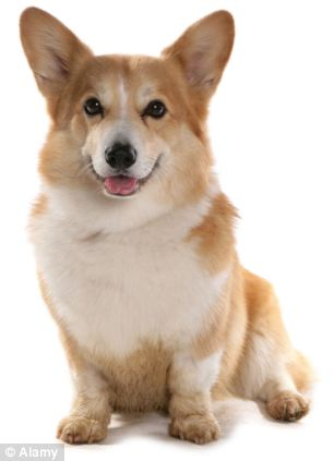 Escaped: The dogs that escaped from the motor-home were corgis (file picture)