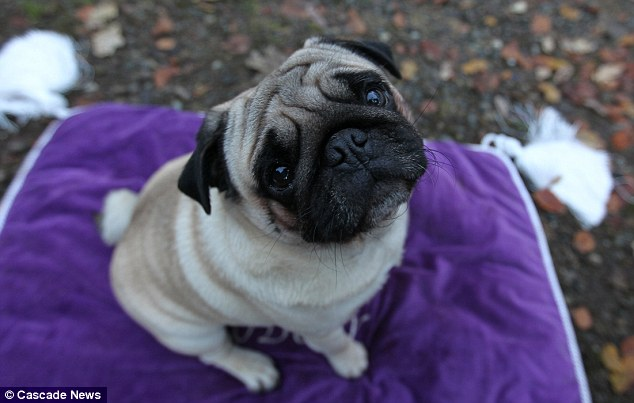 Luxury: Pampered pug Mr Darcy feasts on chicken and steak suppers and enjoys snacking on Victoria sponge cake