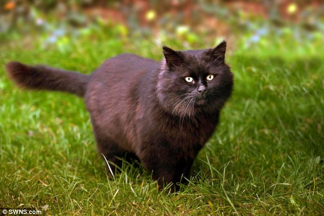 Terrifying: Shiny has been branded Britain's most ferocious feline after  putting residents and pets in hospital
