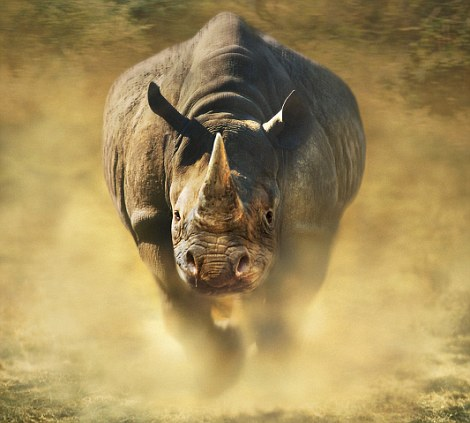 Fearsome: A rhino charges across the turf