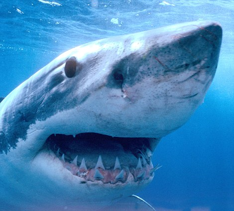 Gnashers: This is a close-up shot of a weather-beaten great white shark