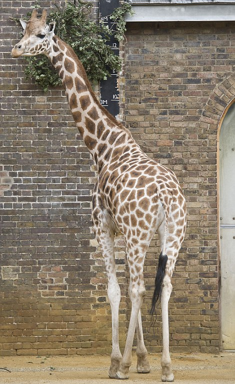 Tall order: The giraffe possesses a long neck to pick leaves from trees