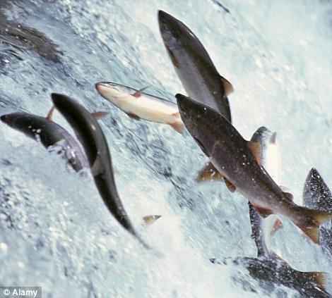Marvel of nature: Salmon swimming upstream in Alaska