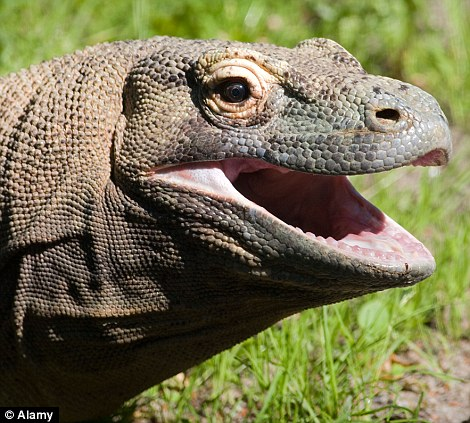 Lethal: The Komodo dragon's bite is its deadly weapon in the wild
