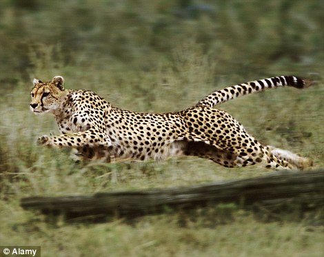 Quick-step: This cheetah is captured sprinting for its prey in the wild.. this one can stay on its feet though