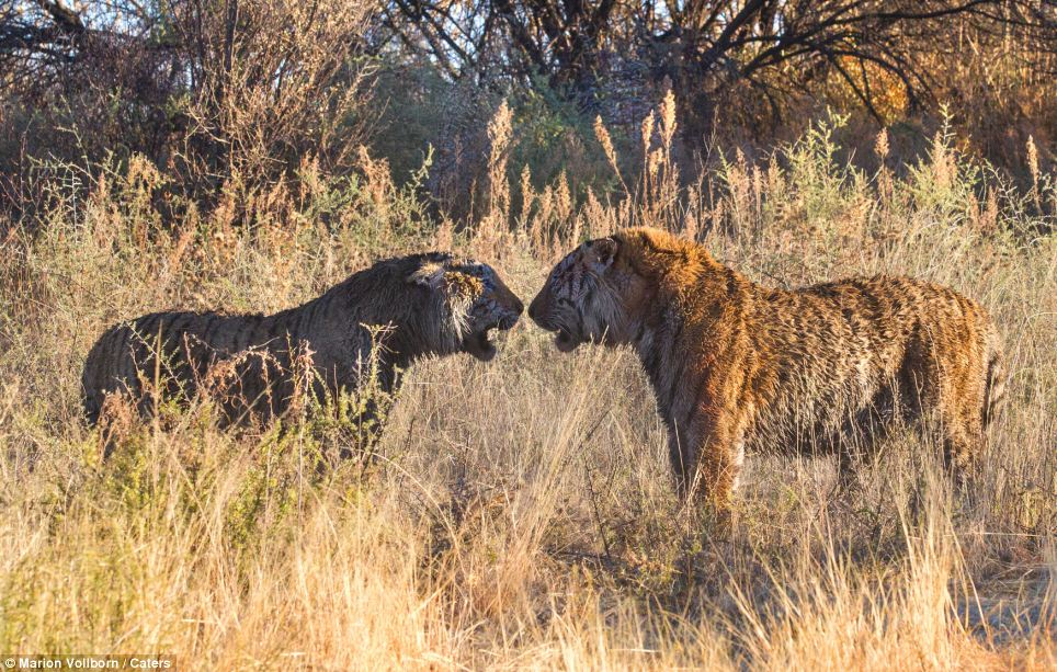Rumble in the jungle: The two tigers come face to face, although the bigger tiger on the right won the bloody battle. The clash erupted after one of the tigers delivered a vicious blow to the neck of its rival