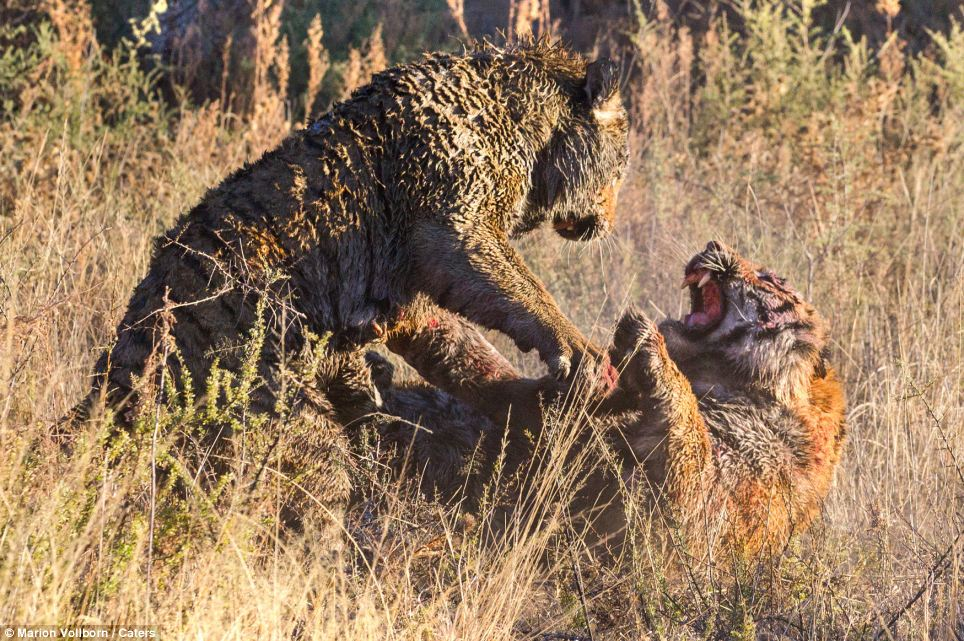 Vicious: One of the tigers seems to get the upper hand during their vicious clash