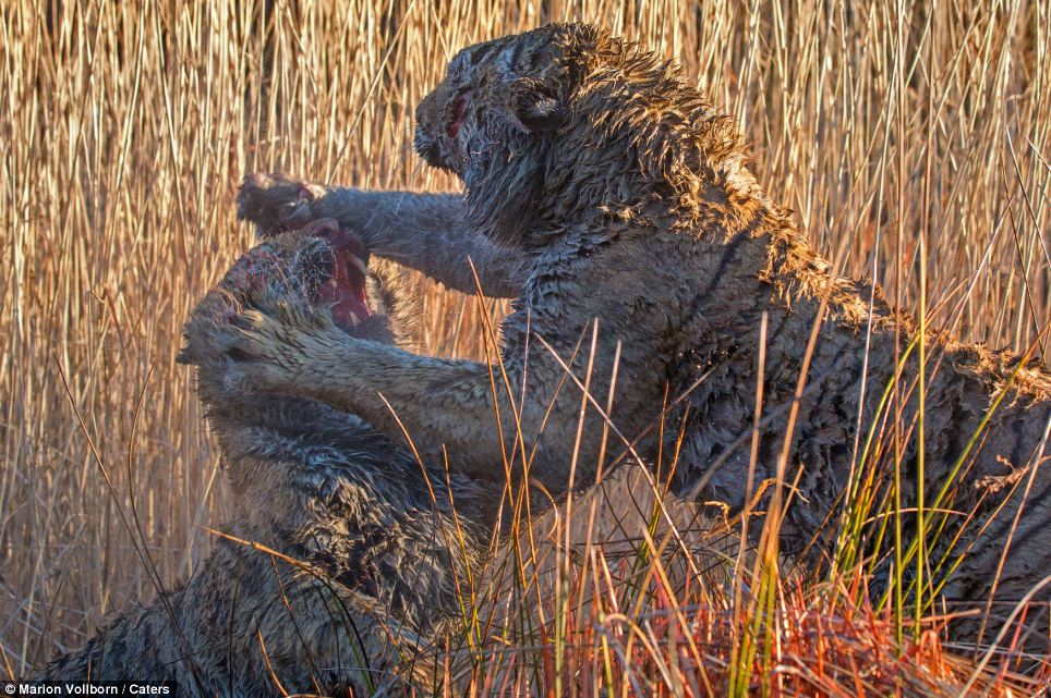 Paws for thought: The nasty clash of these two furry titans was captured at the world famous 'Tiger Canyons' in the Londolozi private game reserve in Pretoria, South Africa