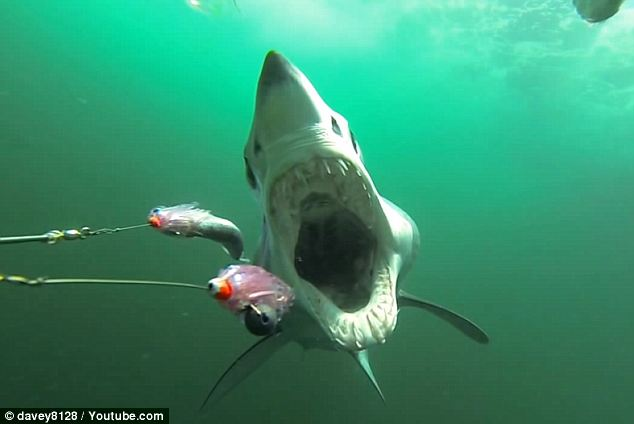 Perfect predator: The mako shark is one of nature's deadliest sea creatures. The beasts can weigh as much as 1,300 pounds and swim as fast as 22mph