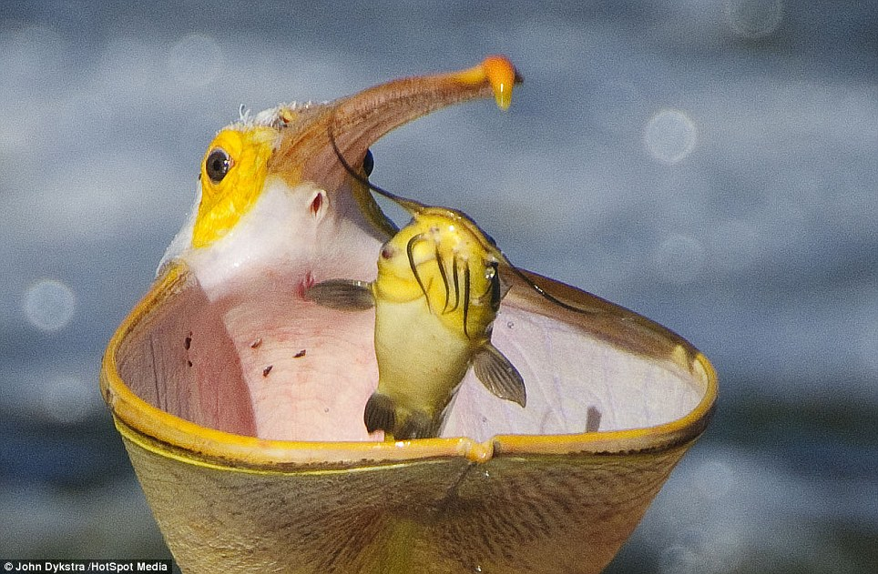 Captured: The pelican throws the catfish into the air before slamdunking it into its enormous mouth