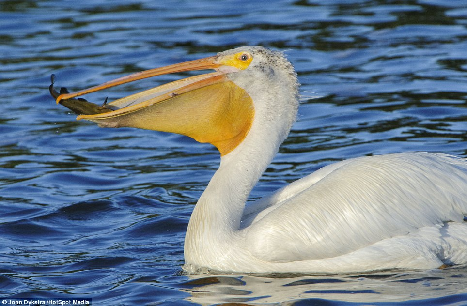 Pelican crossing: The hapless catfish was seen flying around the rim of the giant bird's mouth before it was caught for dinner