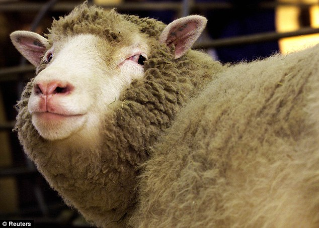 Pioneering: Scotland's Dolly the Sheep became the world's first cloned mammal when she was born in 1996