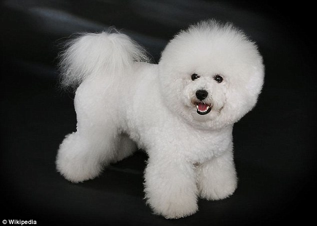 Man's best friend: Anderson was often spotted walking his bichon frise Toby (stock picture)