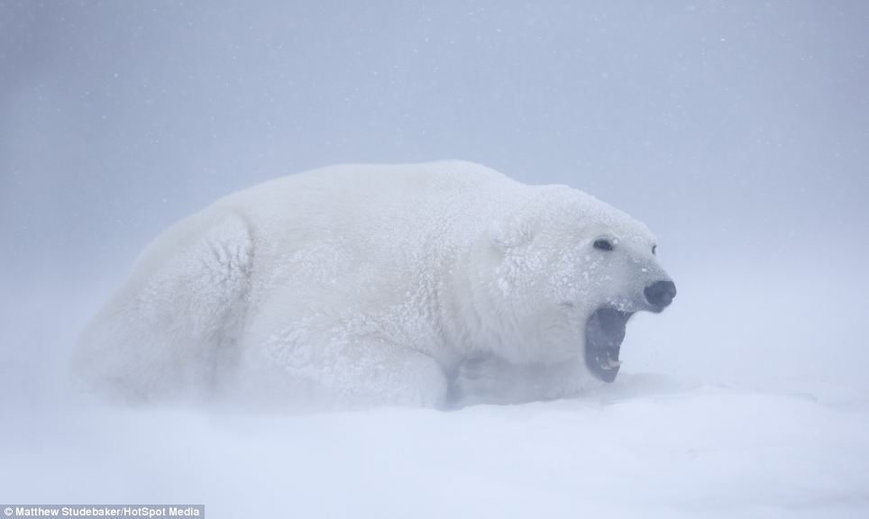 Playful: No strangers to the freezing weather, the playful polar bears sparred in temperatures of minus six degrees