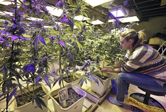 An employee radio frequency tracking tags - required by law - to pot plants maturing inside a grow house at 3D Cannabis Center. Almost all businesses are looking to expand the number of plants in response to skyrocketing sales