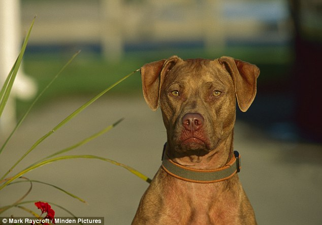 Pit bulls or pit-bull mixes were blamed for 25 of the 32 deaths resulting from dog attacks in the US last year. Seen here is an American pit bull Terrier