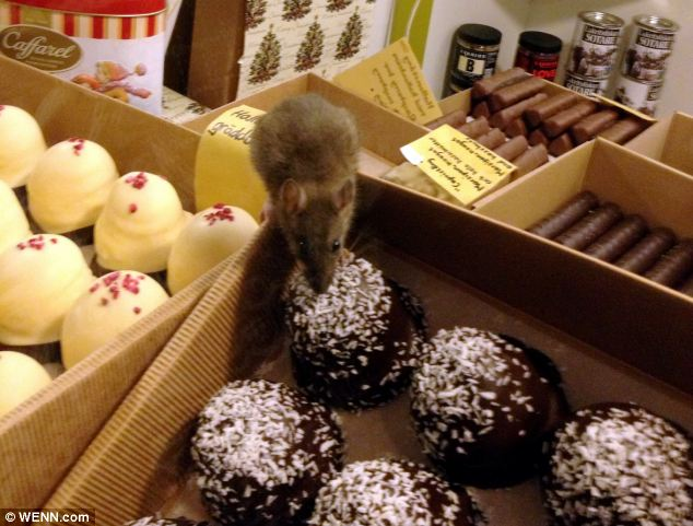 Fine taste: The cheeky critter was helping itself to luxury Danish Royal Warrant truffles