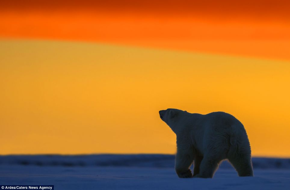 Sniffing at the skyline: The mother bear is bathed in brilliant colour as she wanders across the snow in front of an incredible backdrop
