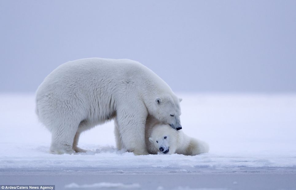 Affection: The mother bear nuzzles one of her adorable cubs as they wait for the night to come
