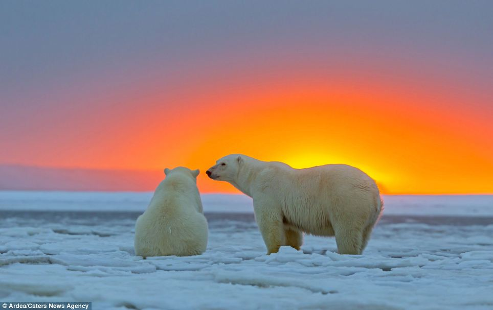 Golden moment: As the sun began to fall beneath the equator the bears gathered on the ice to enjoy the spectacle