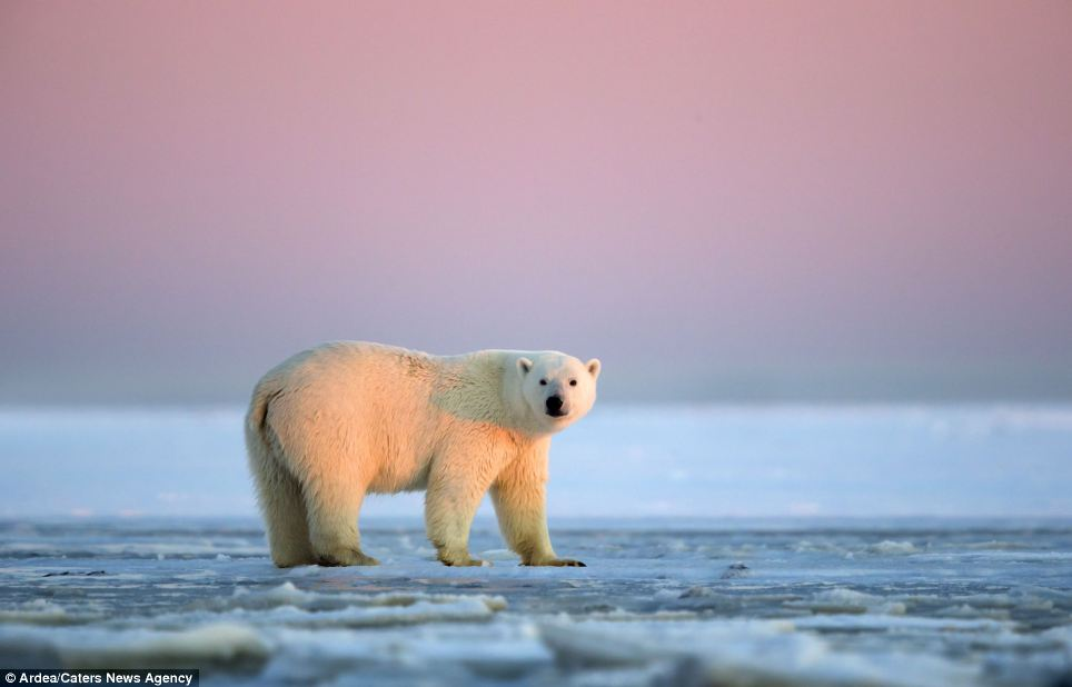 Commitment: Photographer, Sylvain Cordier, spent three weeks following the bears to capture the memorable moment