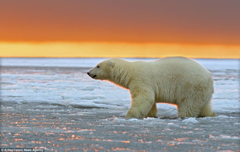 Glorious: Even the surface ice on the frozen Arctic waters begins to take on a red hue as the setting sun begins to drop