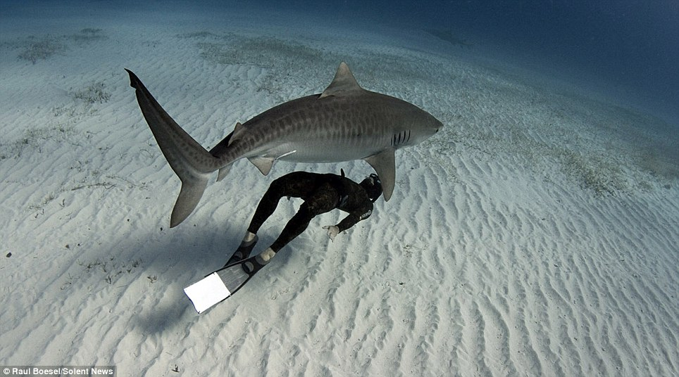 Fear factor: Mr Boesel says there are theories that a diver's racing heart could put them in danger because the sharks can detect the electrical impulses from the body