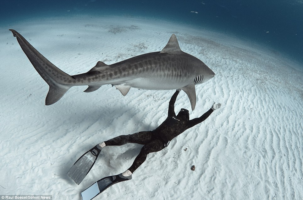 Facing danger: Mr Boesel says his adrenaline keeps him sharp underwater, but some divers rely on being relaxed because they believe the sharks can sense their fear