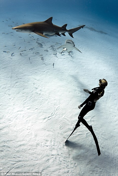 A diver swims with the sharks