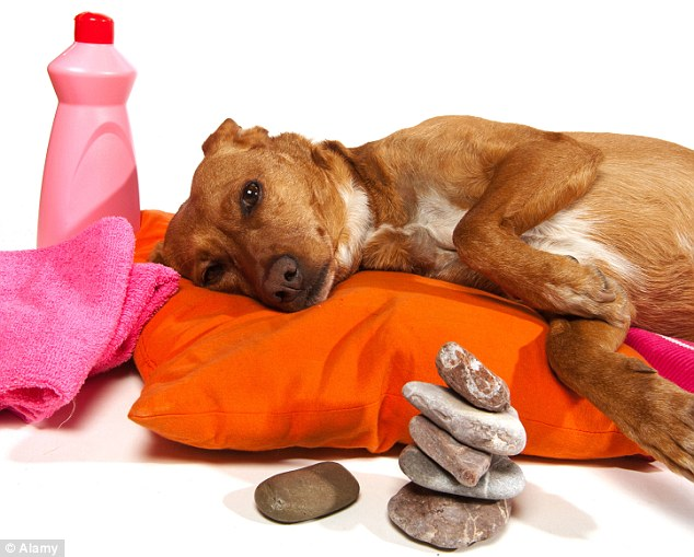 Relaxing: Dogs will also be able to share the experience with their owners thanks to a Valentines package