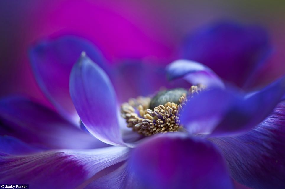 This luscious shot of an Anemone de Caen flower was awarded first place for the Details prize