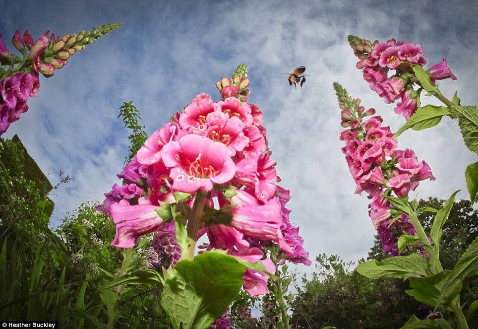 Spell-binding: The blue sky dotted with white clouds look ominous in this shot taken from the ground of towering foxgloves, which won Heather Buckley first prize