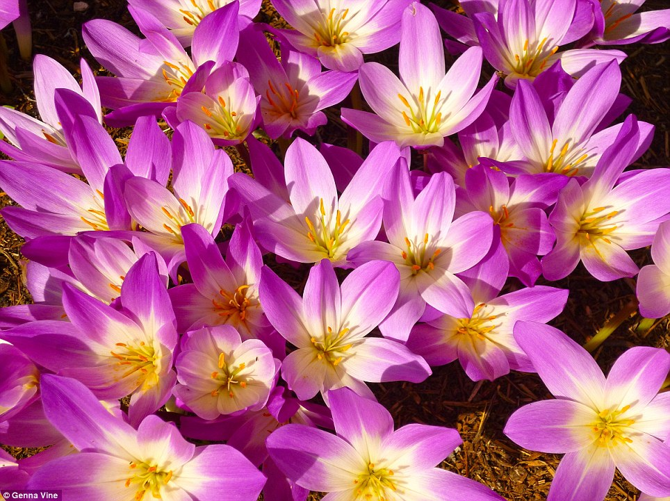 The vibrant shot of these Colchicums won nine-year-old Genna Vine the first place for the Under-11 category