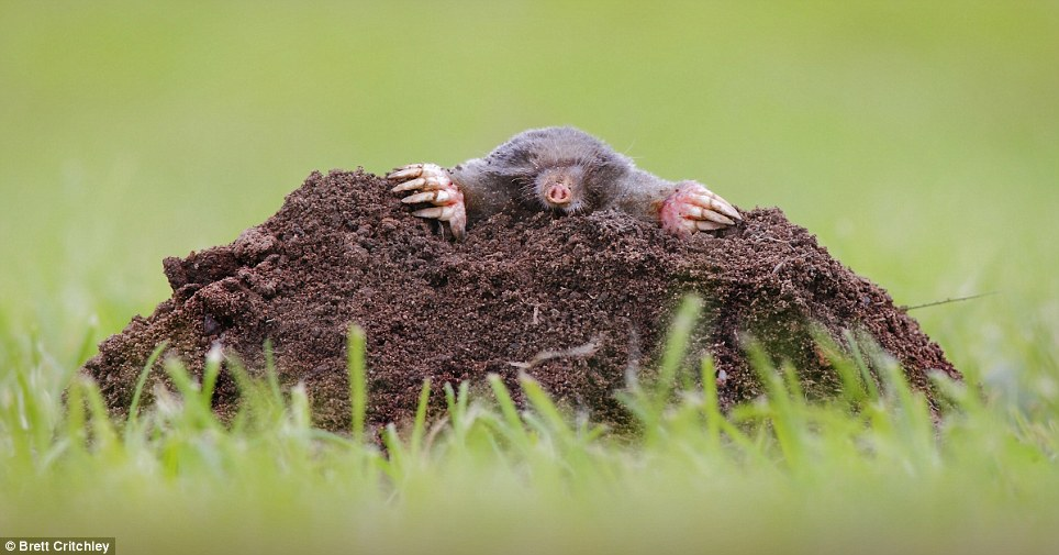 Wildlife third place went to Brett Critchley for his zoomed-in photograph of a mole peaking out of the ground at the summer sun