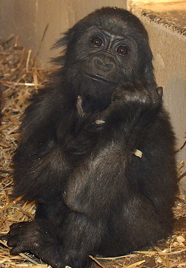 Growing up: Gladys is learning to live with other gorillas after being hand reared