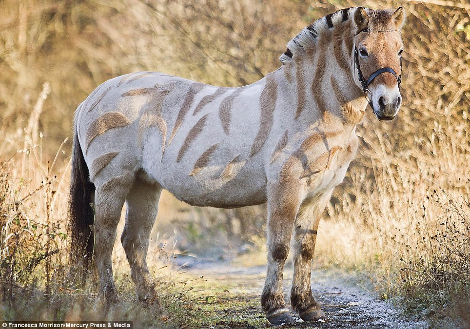 Yes, it's a pony: Petri has had her coat sculpted to make her look like a zebra, fooling passers-by