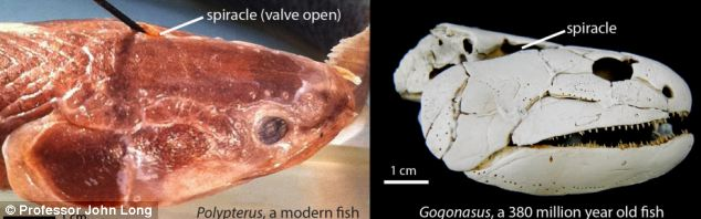 Gogonasus originally developed their breathing abilities using tiny holes in the top of their heads called spiracles (right). The same ability can be seen in Polypterus, the most primitive bony fish alive today (left)