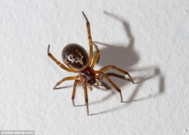 Mr Greenhill is the latest reported case of a false widow spider bite in the UK