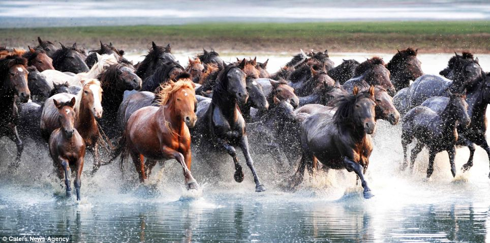A year in the life: This herd of horses gallop into a river in Xilingol, part of north China's Inner Mongolia Autonomous Region, in July last year. According to the Chinese lunar calendar, 2014 is the year of horse, which stands for strength, loyalty, boldness and vigour