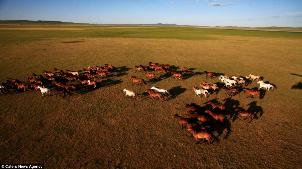 Home on the range: The horses run across a deserted Mongolian landscape on a sunny July day. The region is famous for the animals