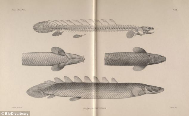 Professor Long said the findings on Polypterus is the 'smoking gun' that points to fossils such as Gogonasus (pictured) as being capable of breathing in air through their spiracles