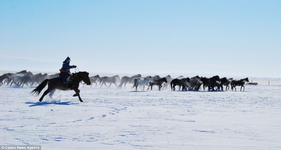 Hardy: The horses, pictured here in Chifeng during February, are an incredible sight and only the highly experienced horsemen who have been born and raised in the area can corral the creatures