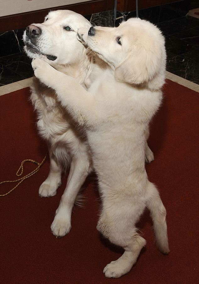 Adorable: It's easy to understand why so many pet owners gravitate to the adorable golden pups