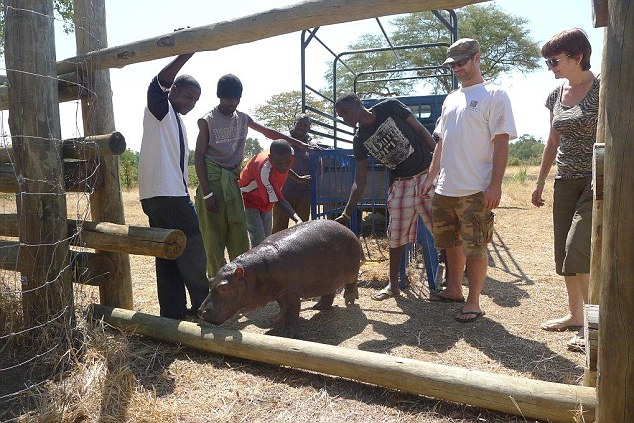 New home: Douglas arrives at his enclosure at the Chipembele Wildlife Rescue park in Zambia