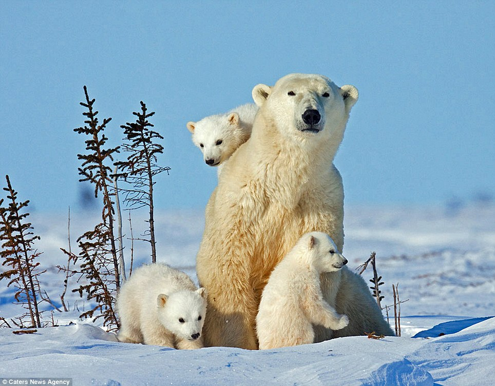 Wildlife photographer Thomas Kokta travelled from his home in Washington state to Manitoba, Canada to capture these stunning images of a polar bear and her three cubs