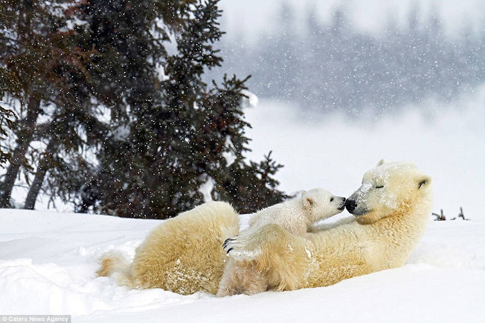 Capturing shots like this of a young cub seemingly planting a kiss on its mother's nose can be particularly challenging as photographers battle icy temperatures and are forced to travel on foot, as vehicles tend to scare the animals away