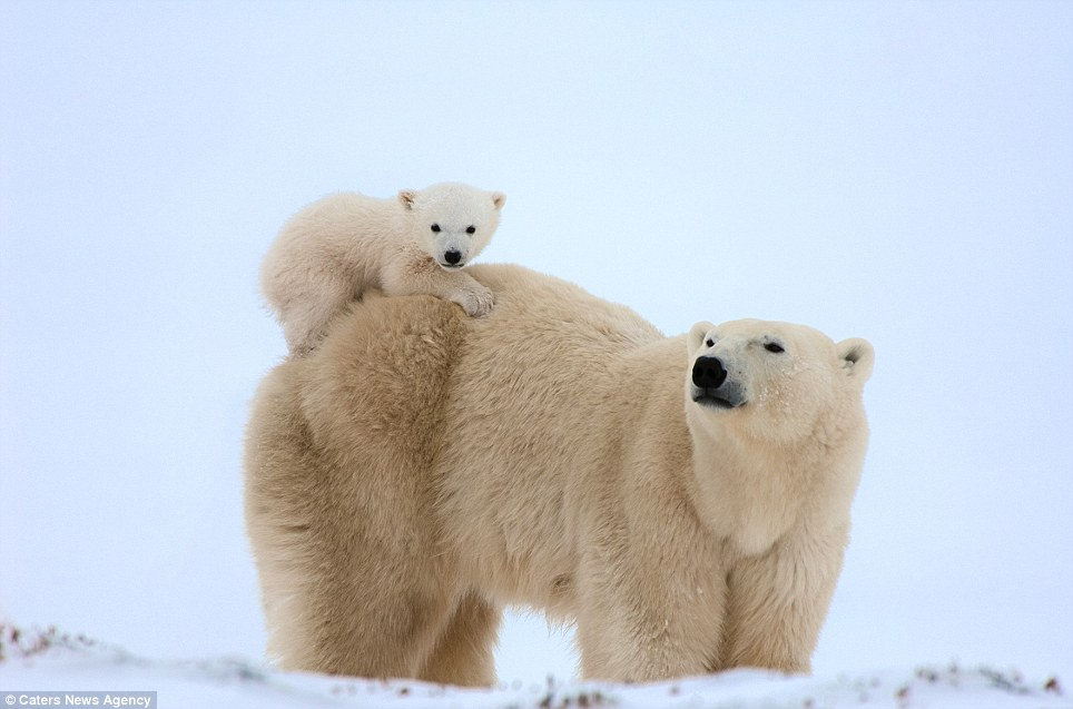 But as Mr Kokta's images reveal, this family of polar bears appeared healthy and playful as the young cubs clambered over their mother and play fought with one another